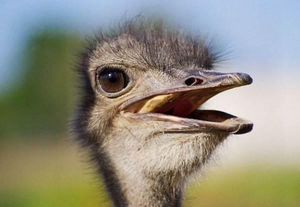 Страус-эму-птица-Описание-особенности-образ-жизни-и-среда-обитания-эму-4