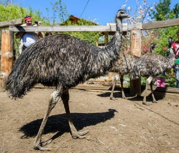 Страус-эму-птица-Описание-особенности-образ-жизни-и-среда-обитания-эму-5