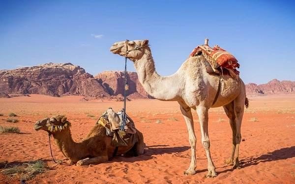 Верблюд-животное-Описание-особенности-виды-и-среда-обитания-верблюда-1