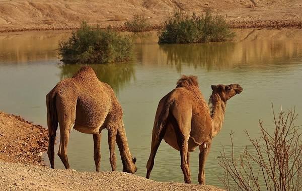 Верблюд-животное-Описание-особенности-виды-и-среда-обитания-верблюда-10