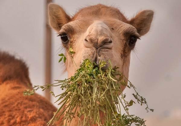 Верблюд-животное-Описание-особенности-виды-и-среда-обитания-верблюда-11