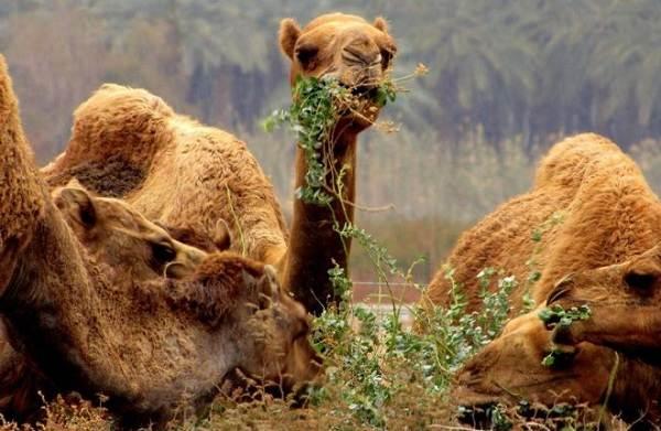 Верблюд-животное-Описание-особенности-виды-и-среда-обитания-верблюда-12