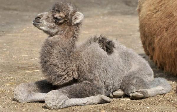 Верблюд-животное-Описание-особенности-виды-и-среда-обитания-верблюда-13