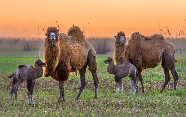 Верблюд-животное-Описание-особенности-виды-и-среда-обитания-верблюда-14