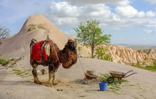 Верблюд-животное-Описание-особенности-виды-и-среда-обитания-верблюда-15