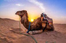 Верблюд животное. Описание, особенности, виды и среда обитания верблюда