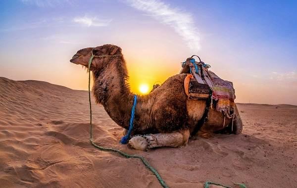 Верблюд-животное-Описание-особенности-виды-и-среда-обитания-верблюда-2