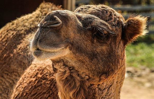 Верблюд-животное-Описание-особенности-виды-и-среда-обитания-верблюда-4
