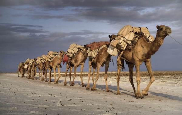 Верблюд-животное-Описание-особенности-виды-и-среда-обитания-верблюда-8