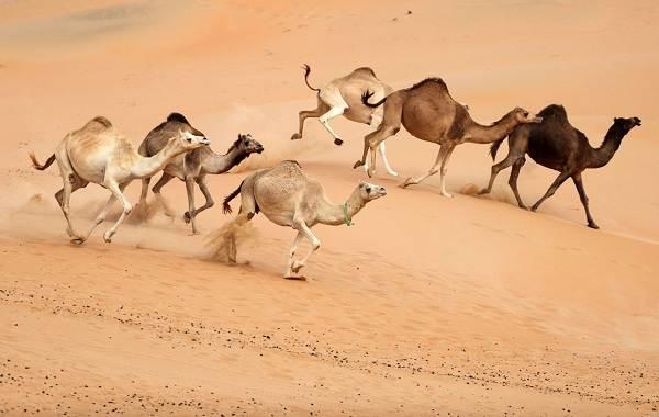 Верблюд-животное-Описание-особенности-виды-и-среда-обитания-верблюда-9