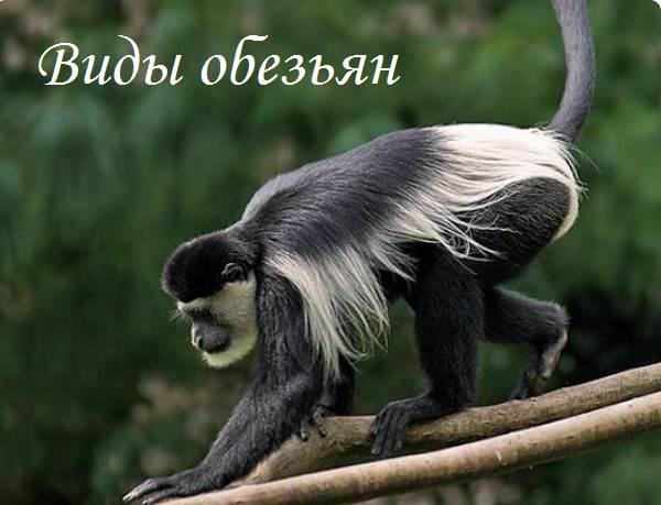 Виды-обезьян-их-особенности-описание-и-названия-1