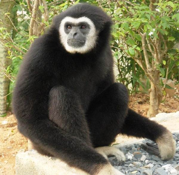Виды-обезьян-их-особенности-описание-и-названия-12