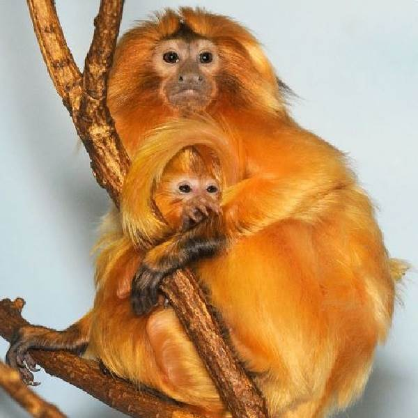 Виды-обезьян-их-особенности-описание-и-названия-13