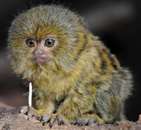 Виды-обезьян-их-особенности-описание-и-названия-17