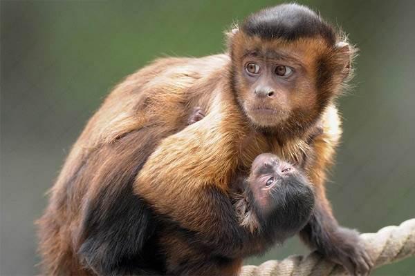 Виды-обезьян-их-особенности-описание-и-названия-18