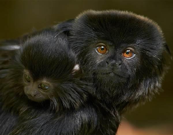 Виды-обезьян-их-особенности-описание-и-названия-19