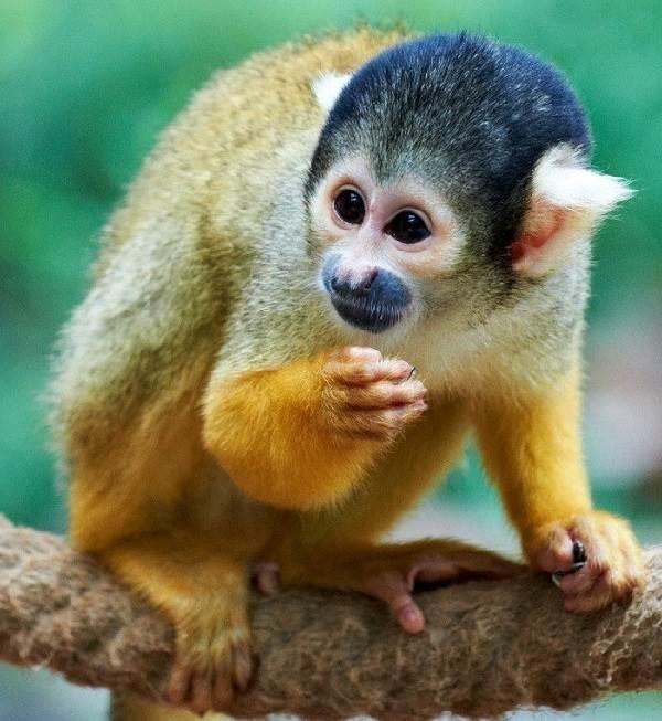 Виды-обезьян-их-особенности-описание-и-названия-21