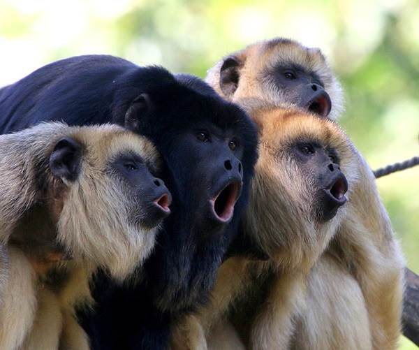 Виды-обезьян-их-особенности-описание-и-названия-22