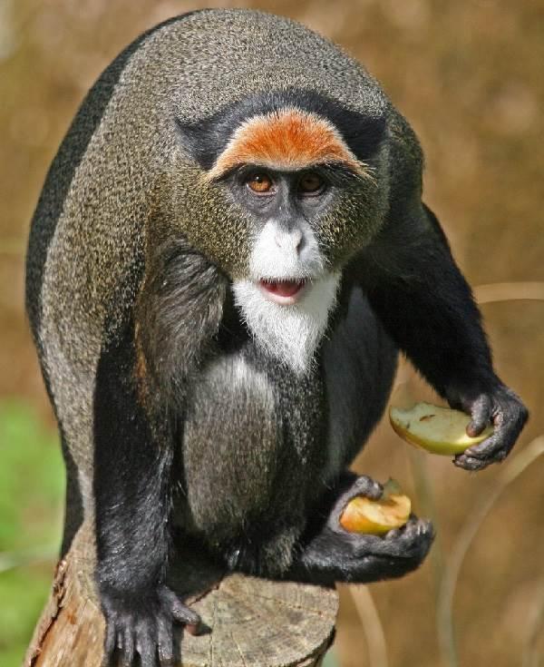 Виды-обезьян-их-особенности-описание-и-названия-25