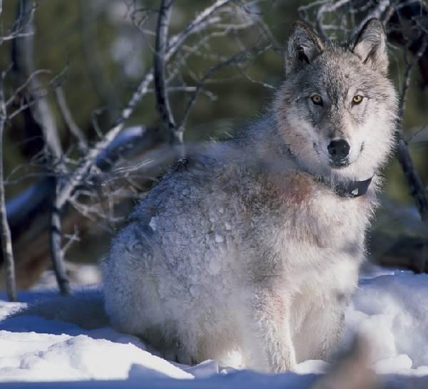 Виды-волков-их-особенности-названия-образ-жизни-и-среда-обитания-1