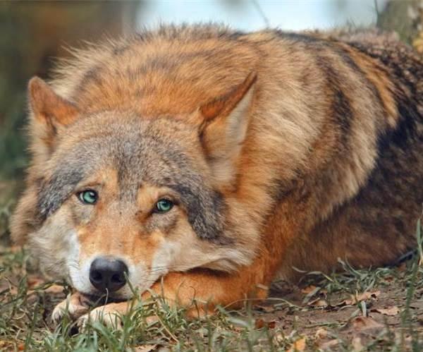 Виды-волков-их-особенности-названия-образ-жизни-и-среда-обитания-10