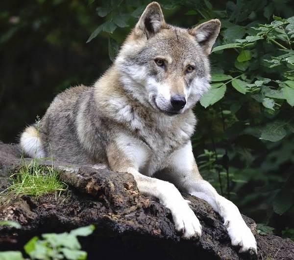 Виды-волков-их-особенности-названия-образ-жизни-и-среда-обитания-11