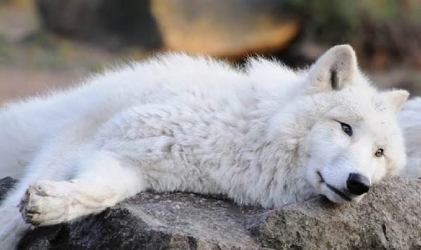 Виды-волков-их-особенности-названия-образ-жизни-и-среда-обитания-12