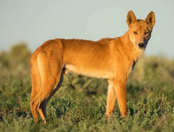 Виды-волков-их-особенности-названия-образ-жизни-и-среда-обитания-13