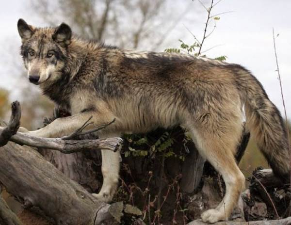 Виды-волков-их-особенности-названия-образ-жизни-и-среда-обитания-14