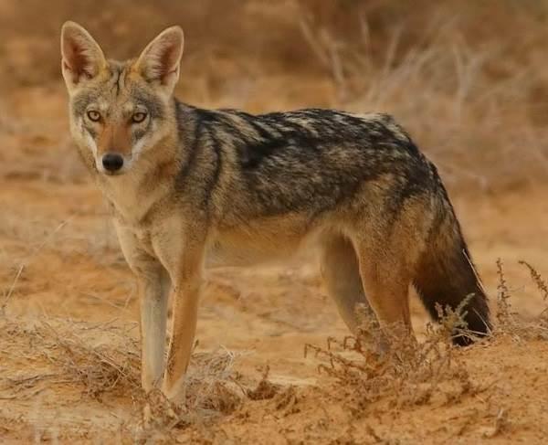 Виды-волков-их-особенности-названия-образ-жизни-и-среда-обитания-15