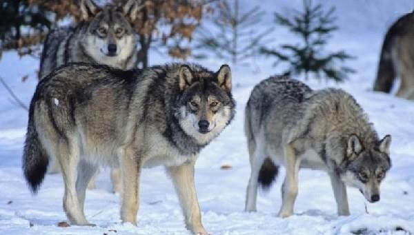 Виды-волков-их-особенности-названия-образ-жизни-и-среда-обитания-17