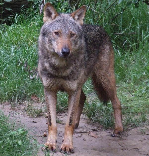 Виды-волков-их-особенности-названия-образ-жизни-и-среда-обитания-18