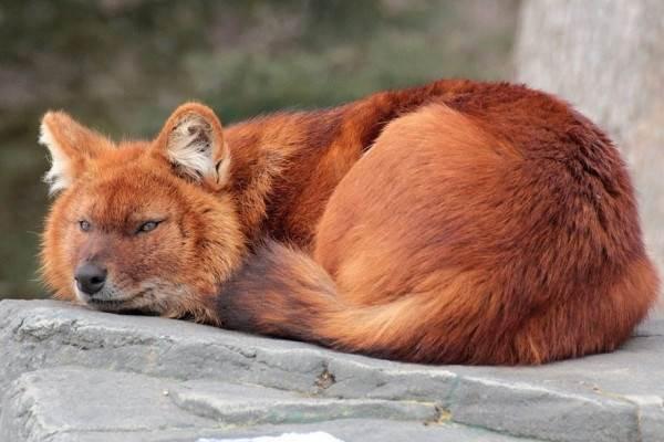 Виды-волков-их-особенности-названия-образ-жизни-и-среда-обитания-2