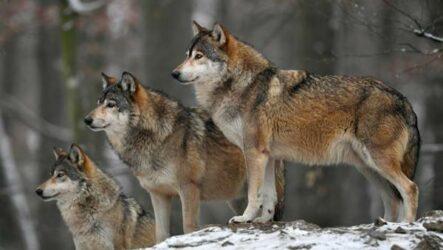 Виды волков, их особенности, названия, образ жизни и среда обитания