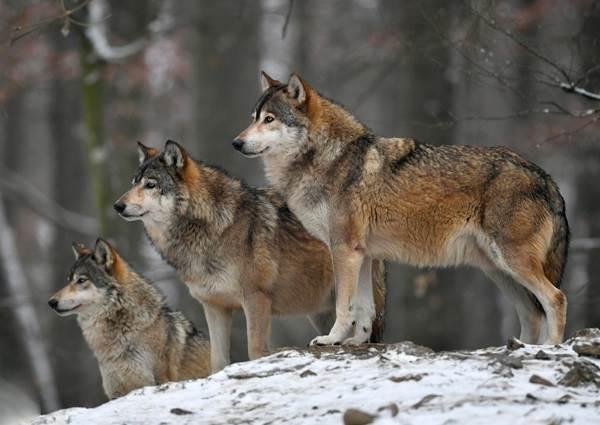 Виды-волков-их-особенности-названия-образ-жизни-и-среда-обитания-20