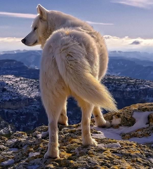 Виды-волков-их-особенности-названия-образ-жизни-и-среда-обитания-3