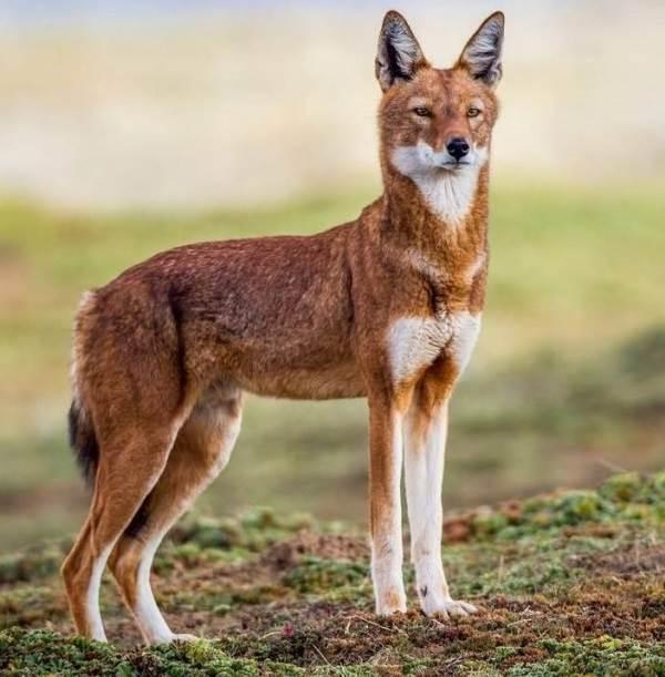 Виды-волков-их-особенности-названия-образ-жизни-и-среда-обитания-6