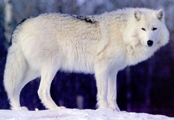 Виды-волков-их-особенности-названия-образ-жизни-и-среда-обитания-8