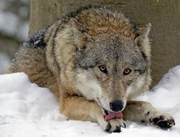 Виды-волков-их-особенности-названия-образ-жизни-и-среда-обитания-9