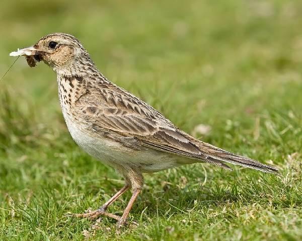 Жаворонок-птица-Описание-особенности-образ-жизни-и-среда-обитания-жаворонка-1