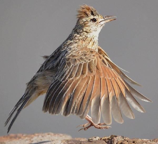 Жаворонок-птица-Описание-особенности-образ-жизни-и-среда-обитания-жаворонка-12