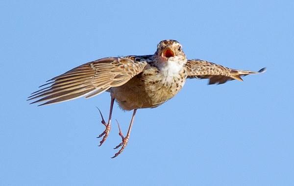 Жаворонок-птица-Описание-особенности-образ-жизни-и-среда-обитания-жаворонка-13