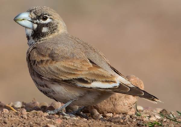 Жаворонок-птица-Описание-особенности-образ-жизни-и-среда-обитания-жаворонка-14
