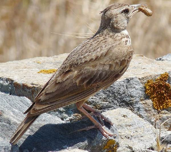 Жаворонок-птица-Описание-особенности-образ-жизни-и-среда-обитания-жаворонка-15