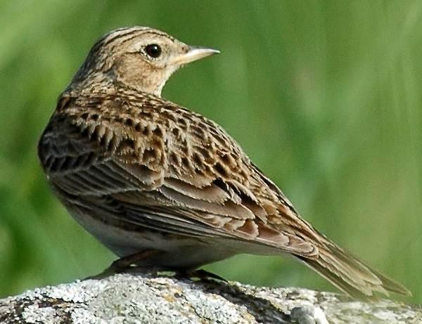 Жаворонок-птица-Описание-особенности-образ-жизни-и-среда-обитания-жаворонка-2