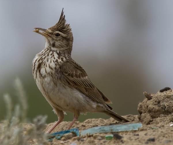 Жаворонок-птица-Описание-особенности-образ-жизни-и-среда-обитания-жаворонка-4