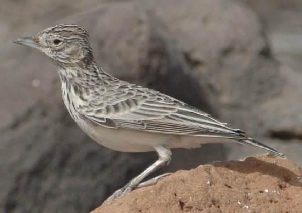 Жаворонок-птица-Описание-особенности-образ-жизни-и-среда-обитания-жаворонка-5