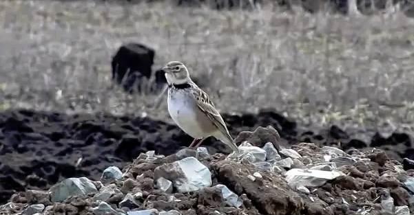 Жаворонок-птица-Описание-особенности-образ-жизни-и-среда-обитания-жаворонка-6