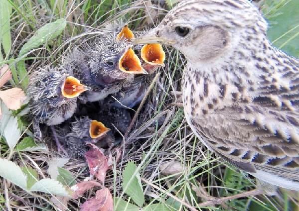 Жаворонок-птица-Описание-особенности-образ-жизни-и-среда-обитания-жаворонка-7