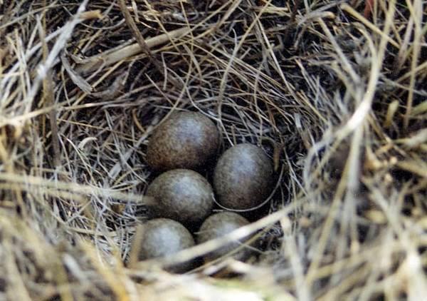 Жаворонок-птица-Описание-особенности-образ-жизни-и-среда-обитания-жаворонка-8